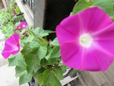 Morning glories vining up the staircase