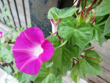 Morning glories enjoying the cooler weather.