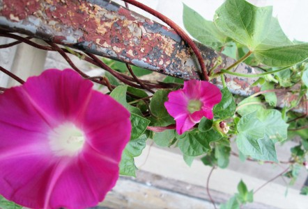 Morning glories vining on stair railing