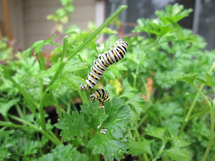 Black Swallowtail butterfly caterpillars. Cute, but hungry!