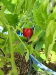 'Carmen' sweet pepper