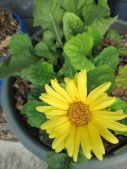 This gerber daisy just keeps hanging 'round. :)