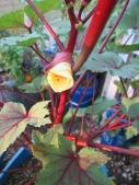 My very first okra bloom.
