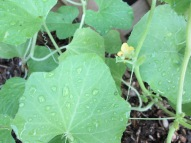 The first flowers on the Armenian cucumbers