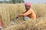 wheat-fields-762213_1280