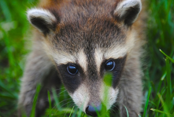 Raccoon.