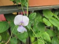 Cowpea flower