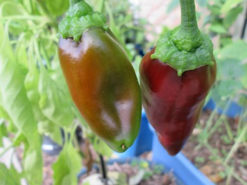 Carmen sweet peppers