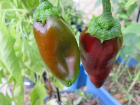 Carmen sweet peppers