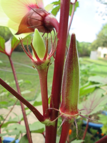Red Burgundy okra