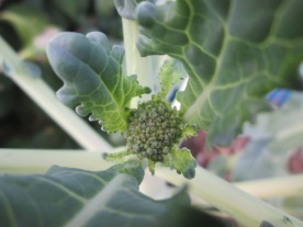 Tiny broccoli floret!
