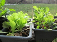 Buttercrunch lettuce and radishes