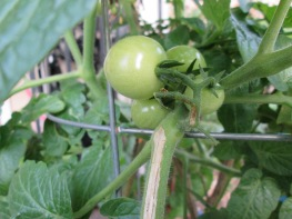 Tiny tomatoes forming in December
