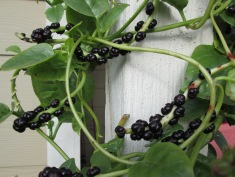 Malabar spinach berries (seeds)